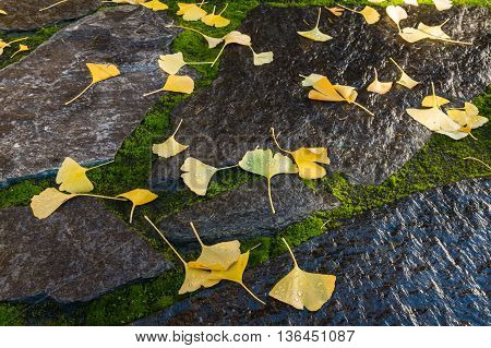 detail of yellow ginkgo leaves on garden stones