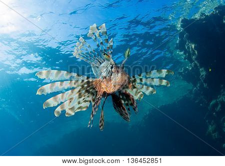 Lionfish above a coral reef in the Egyptian Red Sea