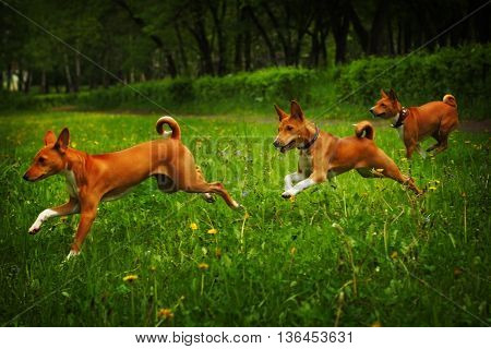 three dogs of the Basenji breed happily running around on the grass in the summer outdoors chasing each other