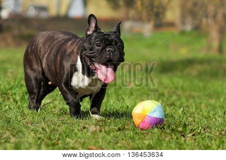 happy dog French bulldog plays with ball in summer on the grass