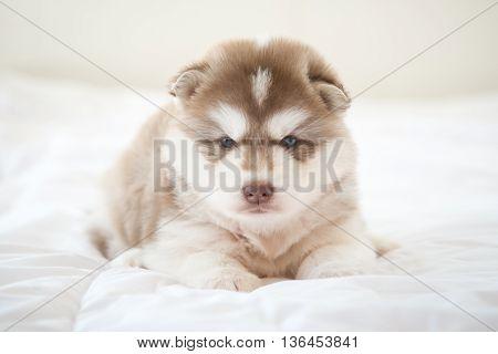 Cute siberian husky lying on white bed