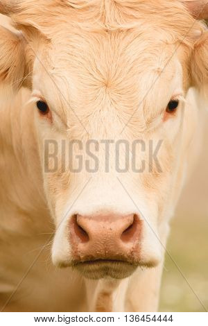Portrait of a cow blond hair looking at camera