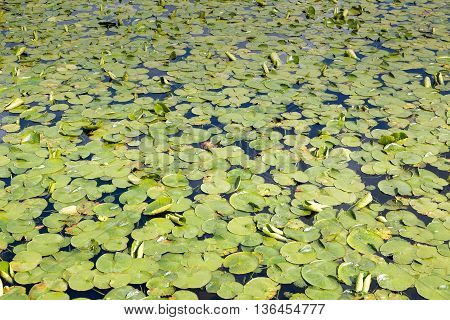 Lily pads covering surface of a lake