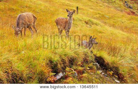 Red Deer Hinds.