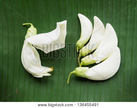 White sesban vegetable on banana leaf background
