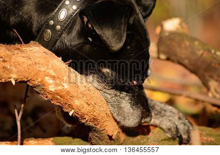 Single black and gray domestic staffordshire dog gnawing on old tree branch outdoors in the woods