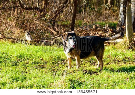 Happy elderly dog out walking in woodland turning to stop and wait for its owner in a grassy clearing amongst the trees