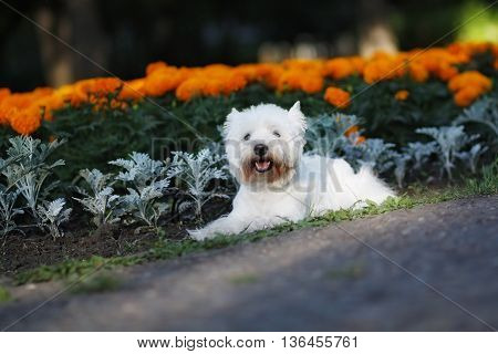 funny dog West highland white Terrier lying on the walk in summer against the background of flower beds