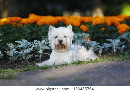 dog West highland white Terrier lying on the walk in summer against the background of flower beds