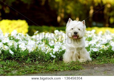 dog breed West highland white Terrier sitting in the summer on the flower beds