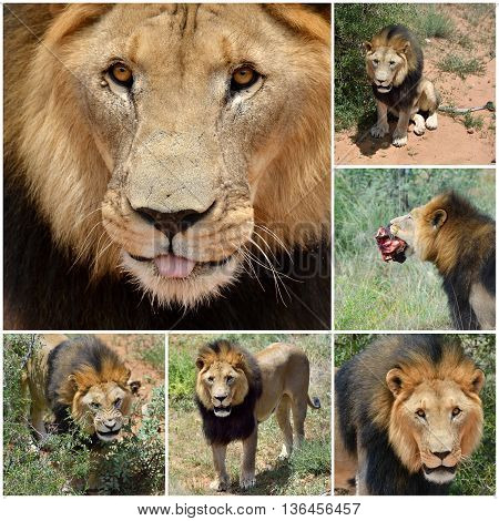 Adult male lion in Africa Namibia. Collage