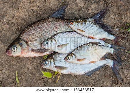 Several Common Bream Fish And Silver Bream Or White Bream Fish On Wet Sand.
