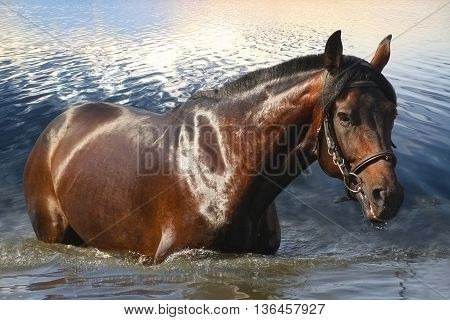 Powerful beautiful bay horse standing in water