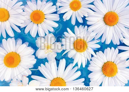 Fresh and bright flowers of daisies or chrysanthemums on the turquoise water surface. Floral spa background and greeting card.