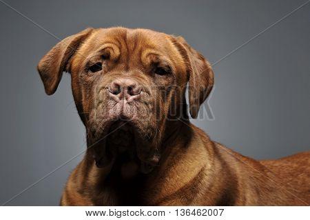 Bordeaux Dog Portrait In A Grey Studio