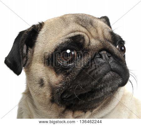 Pug Portrait In A White Photo Studio