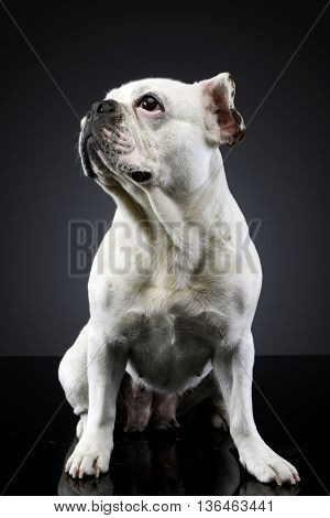 White Frech Bulldog With Funny Ears Posing In A Dark Photo Studio