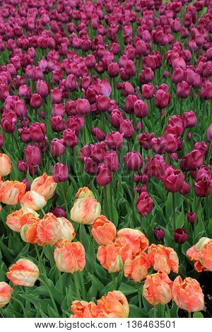 Stunning image of peach and purple tulips in backyard garden.