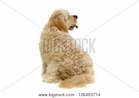 Havanese Relaxing In A White Photo Studio