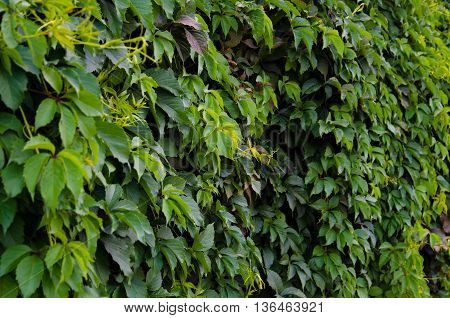 Background of summer green Virginia creeper leaves