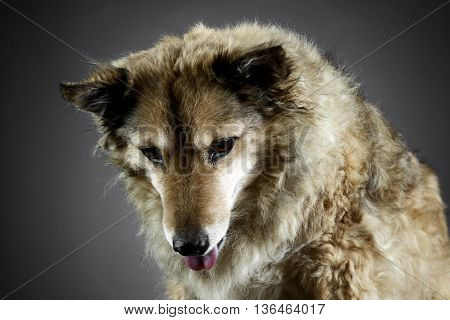 Mixed Breed Funny Dog Is Relaxing In A Dark Photo Studio