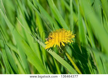 Spring idyll in Ukraine - Dandelion in fresh grass