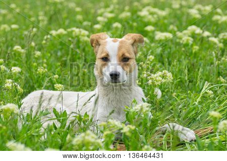 Portrait of adorable stray dog lying in spring grass