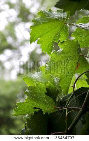 Grape leaves in the summer warm rain.