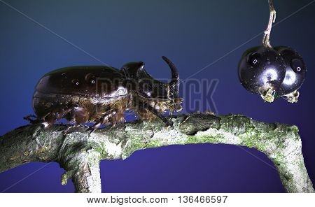 European rhinoceros beetle and Blackcurrant on blue Background