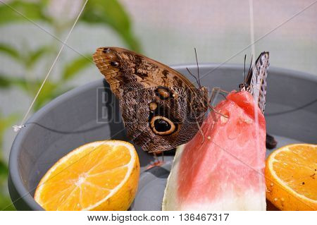 Butterflies eating in a bowl of fruit