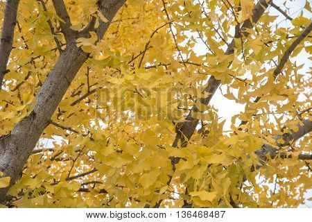 view of yellow ginkgo trees in a park Japan