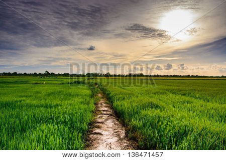 rice field and sunset time in thailand