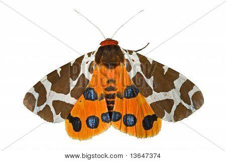 Butterfly Tiger-moth (arctia Caja)