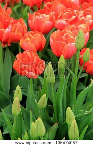 Pretty landscape of peach tone tulips, some open fully to the Springtime sunshine, others beginning to bud.