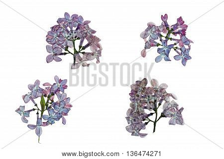Pressed and dried flowers lilac isolated on white background. For use in scrapbooking pressed floristry (oshibana) or herbarium.