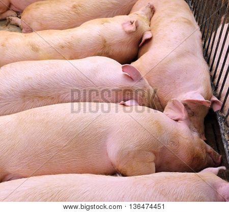 Asleep Pig In Pig-breeding Farm