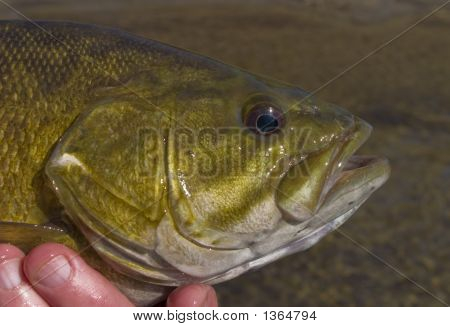 Smallmouth Bass Head Vermont