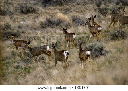 Washington Mule Deer Herd 1