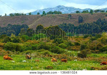Herd Of Cows.
