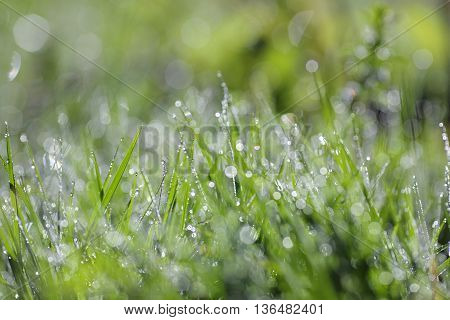 Fresh green grass with water drops cl up