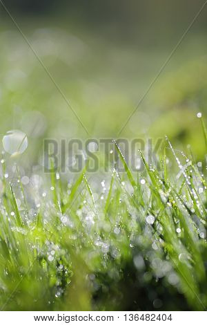Fresh green grass with water drops close up