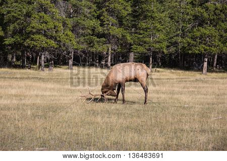The deer is grazed. The red deer with branchy horns pinches a grass on the fringe of the forest. Rocky Mountains in Canada