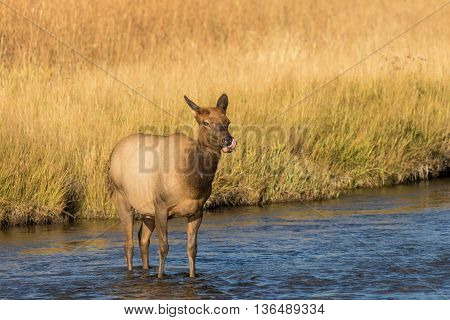 a cow elk standing in a river during the fall rut
