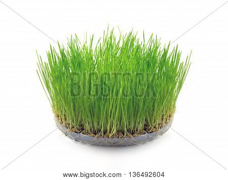 Sprouted wheat grain in the form of grass on white background