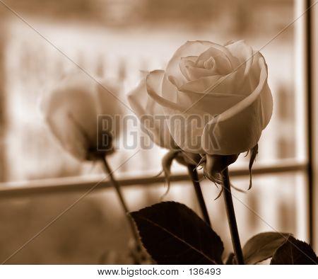 Roses On Window-sepia