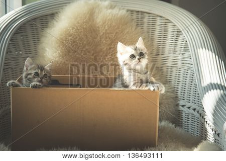 Cute two tabby kittens looking in a boxvintage filter