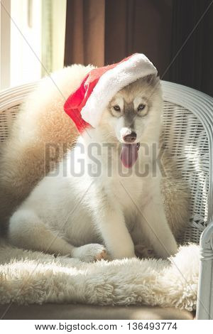 Cute siberian husky with red santa hat sitting on white rattan chairChristmas concept