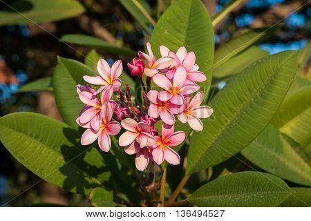 Close up pink plumeria on the plumeria tree.