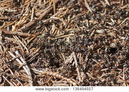 black ants at work in an anthill