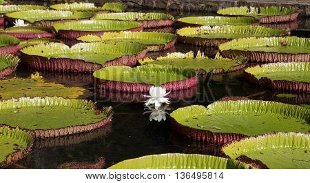Water Lily Victoria Regia In Pamplemousses Botanical Garden Mauritius